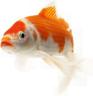 Komeetstaart speedy gozales onder de goudvissen velda for Teichfische shubunkin