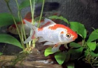 De Sarasa goudvis is door zijn prachtige kleurstelling een van de meest populaire vijvervissen