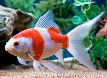 De Komeetstaart is een snelle zwemmer en wordt de Speedy Gozales onder de goudvissoorten genoemd