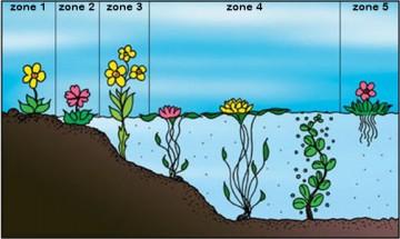 In bestaande vijvers met veel algen, is het niet verstandig om zuurstofplanten te plaatsen