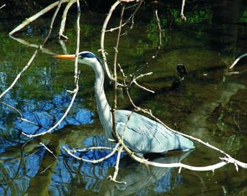 Vissen vormen het hoofdvoedsel van de blauwe reiger