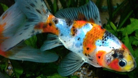 De Shubunkin heeft dankzij zijn kleuren en schubben een parelmoer uitstraling