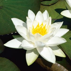 Waterlelies zijn er in vele kleuren en soorten