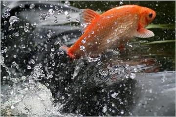 De goudwinde is een oranjekleurige snelle maar schichtige siervis die tot 25 tot 50 cm lang kan worden