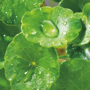 Zuurstofplanten zijn zeer nuttig voor het helder en gezond houden van het water