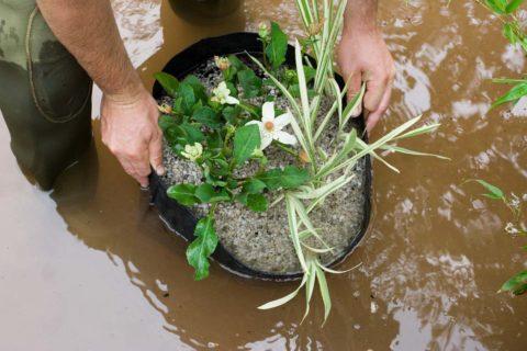 waterplanten voor de vijver