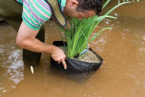 waterplanten voor een visvijver plaatsen