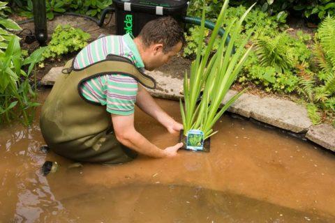 plaatsen van waterplanten in de vijver
