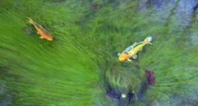 Filamentous algae (2)
