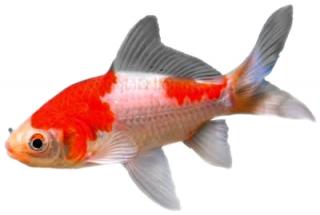 Sarasa der beliebteste goldfisch velda for Teichfische shubunkin