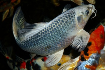 Ghost koi beliebtester teichfisch velda for Carpa koi butterfly