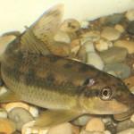 Algenfresser oder grundeln velda for Teichfische arten