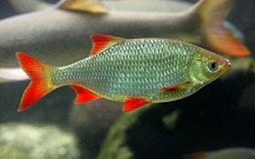 Rotfeder oder rotauge velda for Teichfische shubunkin