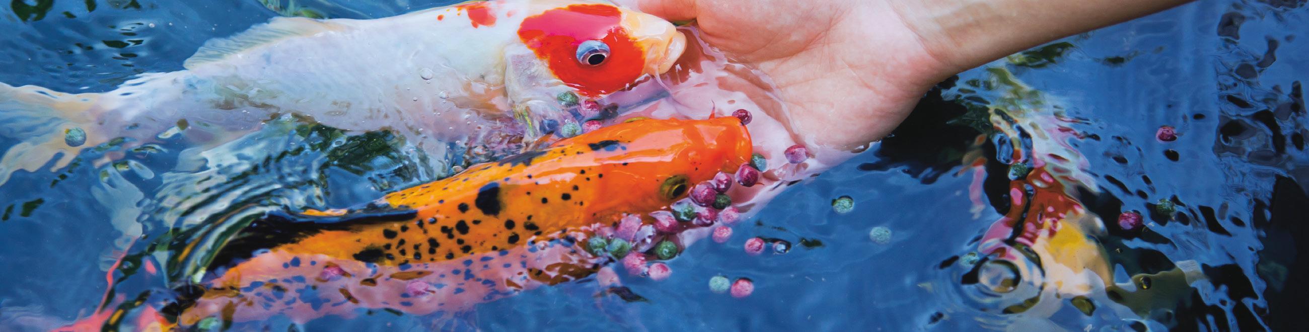 Welches Futter Gebe Ich Meinen Fischen Velda Teichspezialist