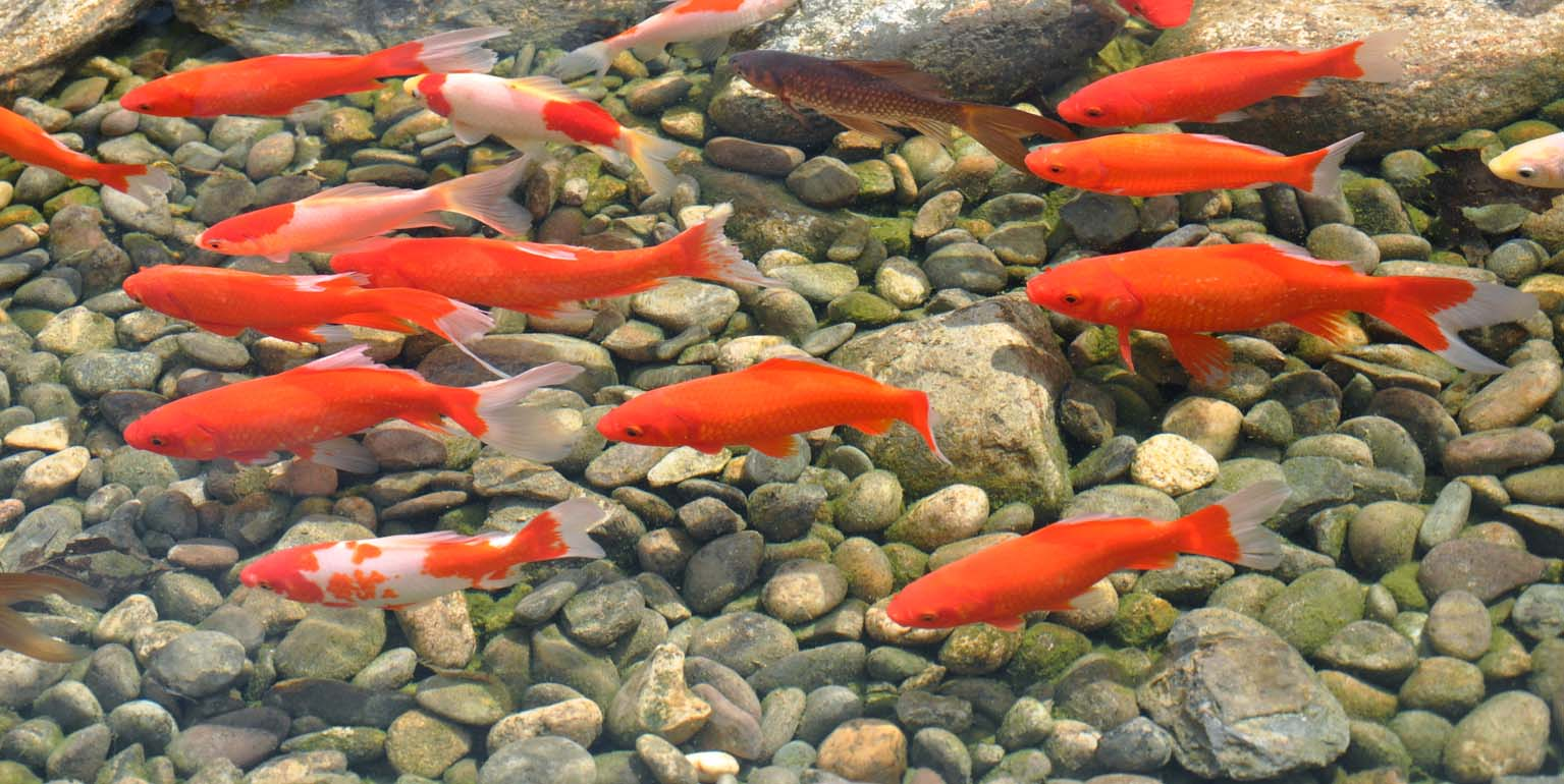 Goldfish the best known pond fish worldwide velda for Fish pond images