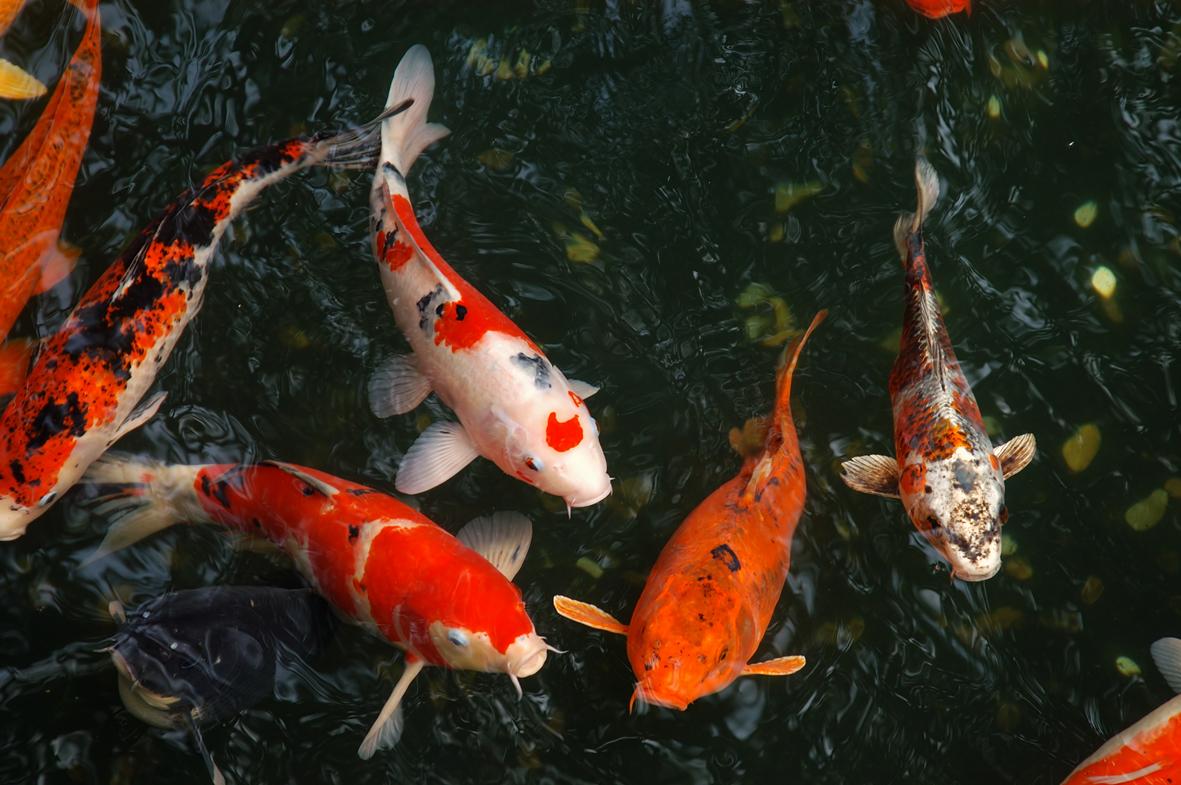 Bassin A Poisson Rouge poissons de bassin, espèces, alimentation et santé | velda